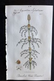 Sowerby C1805 Hand Col Botanical Print. Branched Wood Horsetail 1874